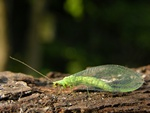Green Lacewing (Chrysoperla carnea)